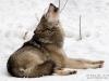 волк (настоящий)